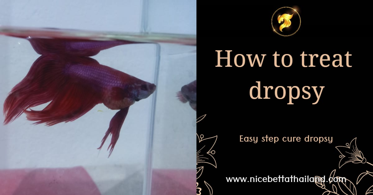 How to treat betta fish dropsy