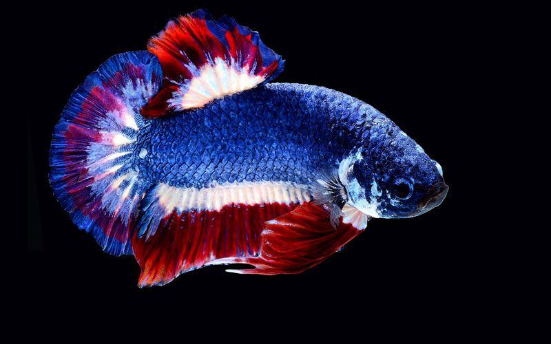 Fantail Betta Fish Price