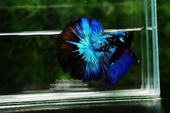 Betta fish OHM King of Dark Blue Eyes Avatar