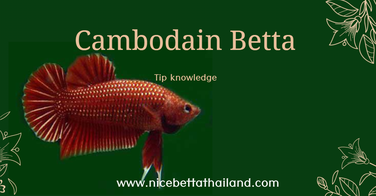 Cambodian Betta fish