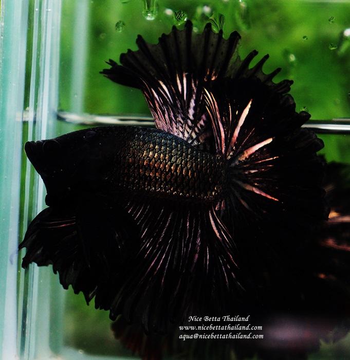 aquarium half sun betta fish