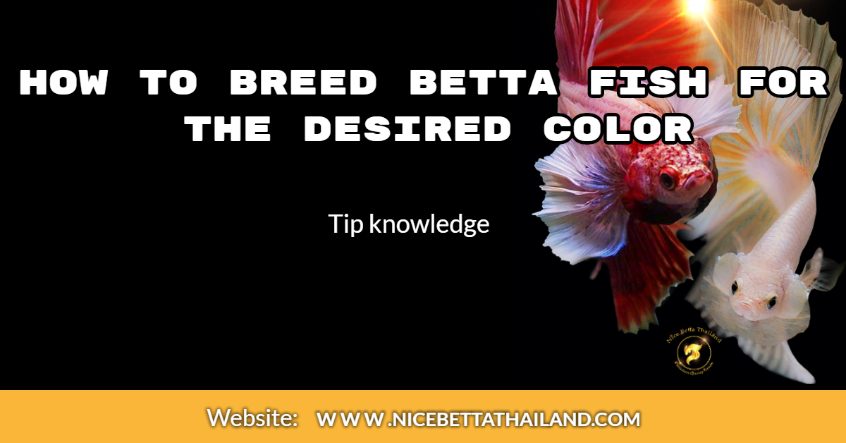How to breed betta fish for the desired color