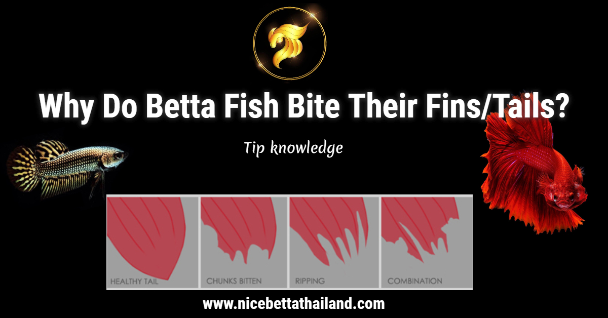 Why Do Betta Fish Bite Their Fins/Tails?