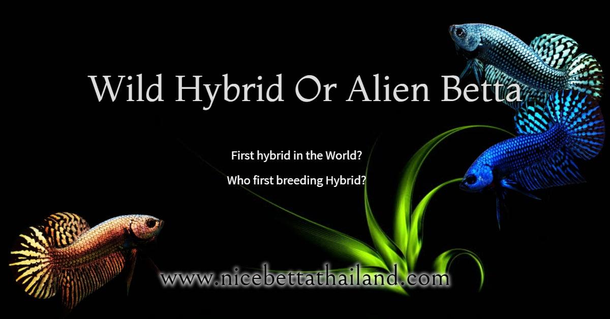 Wild Hybrid Or Alien Betta