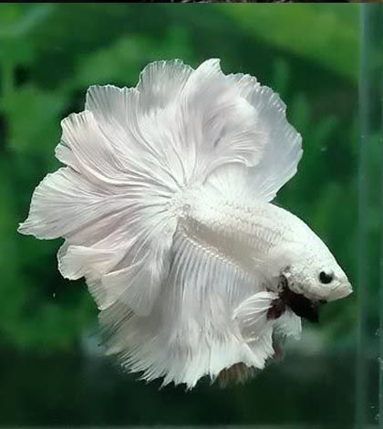 Hight price Live Betta fish