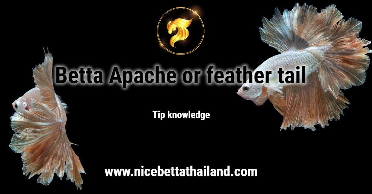 Betta Apache or feather tail