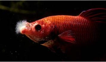 Betta fish Columnaris Mouth Fungus