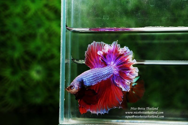 Betta fish Feather tail Lavender