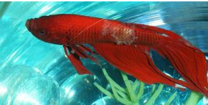 Betta fish Fungus Fungal Infections