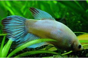 Betta fish Intestinal Parasites