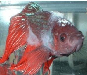 Betta fish Slime disease