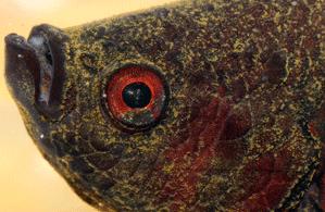 Betta fish Velvet