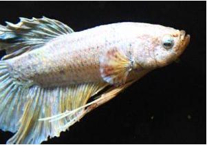 Betta fish and aquarium