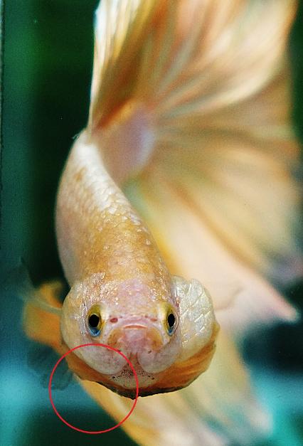 Betta fish gill hyperplasia