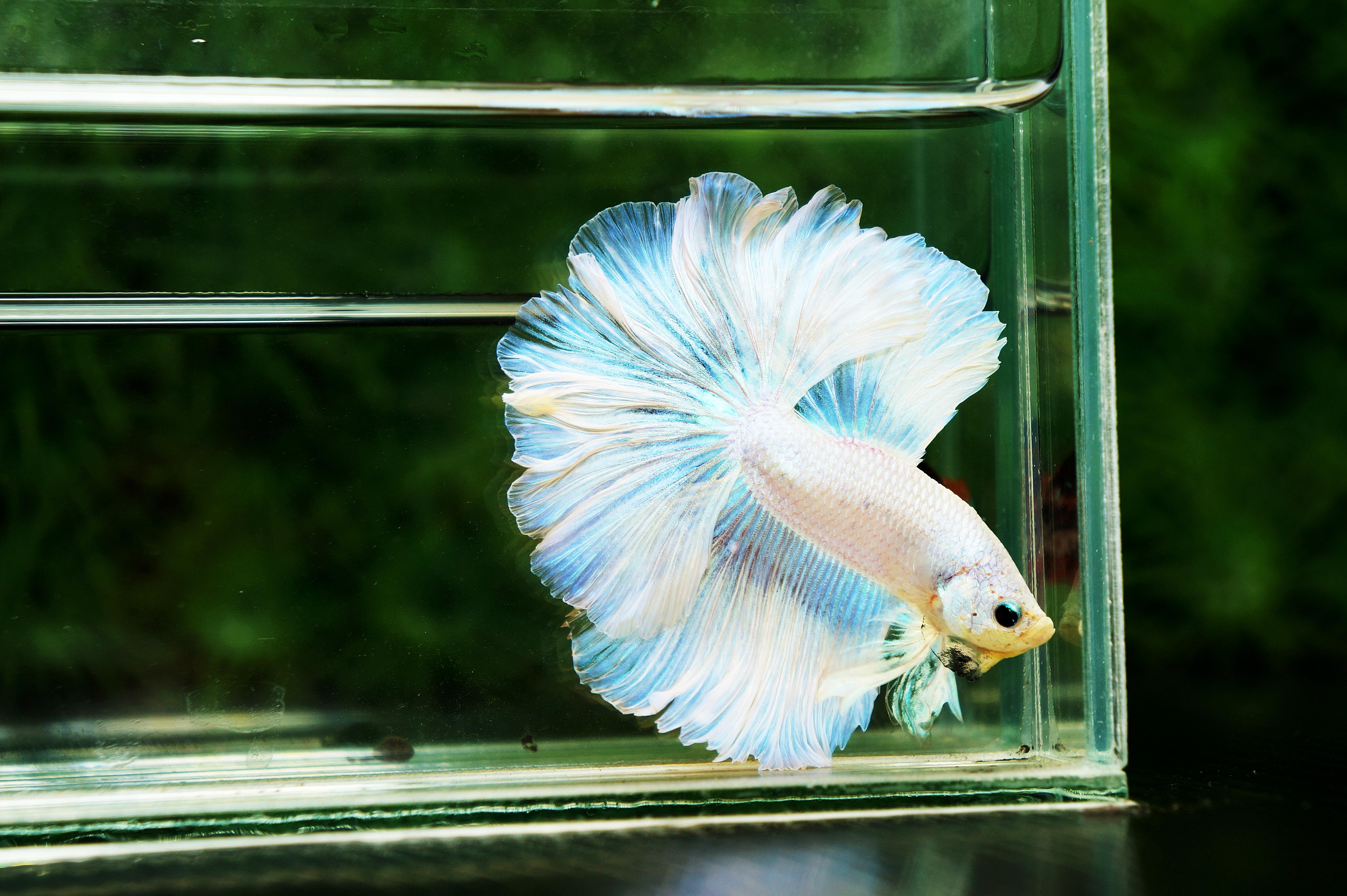 for sale betta fish