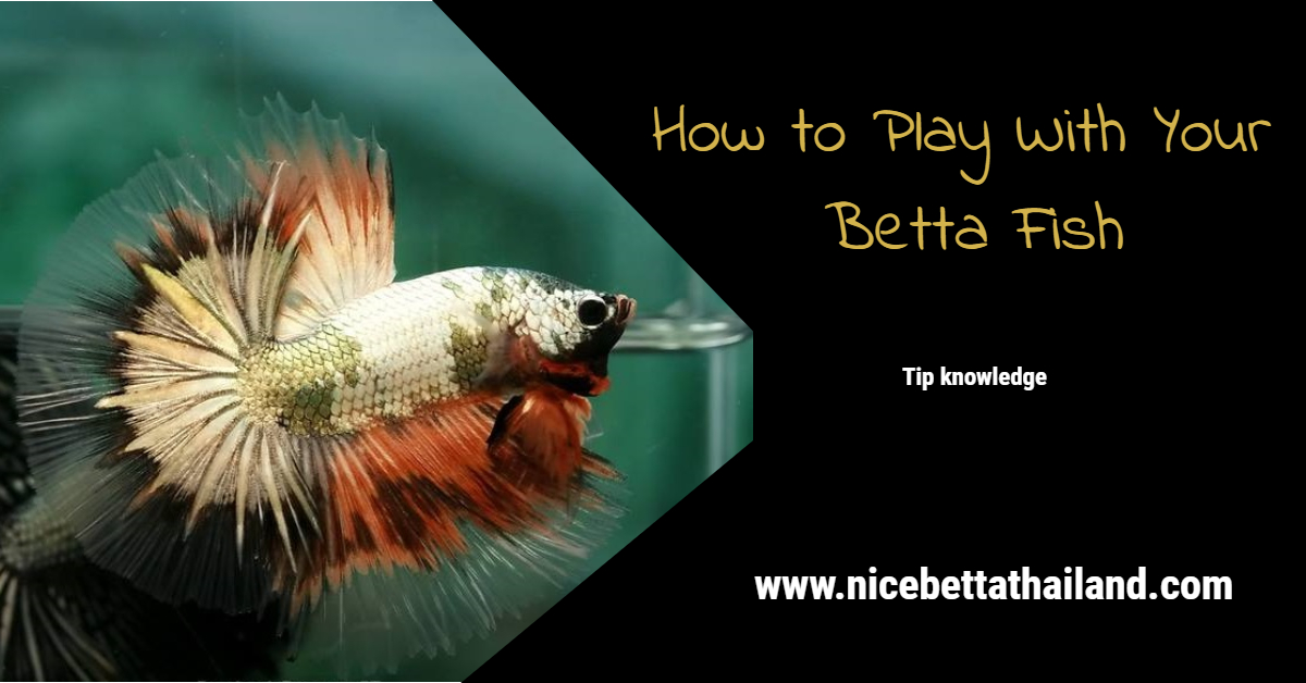 How to Play With Your Betta Fish