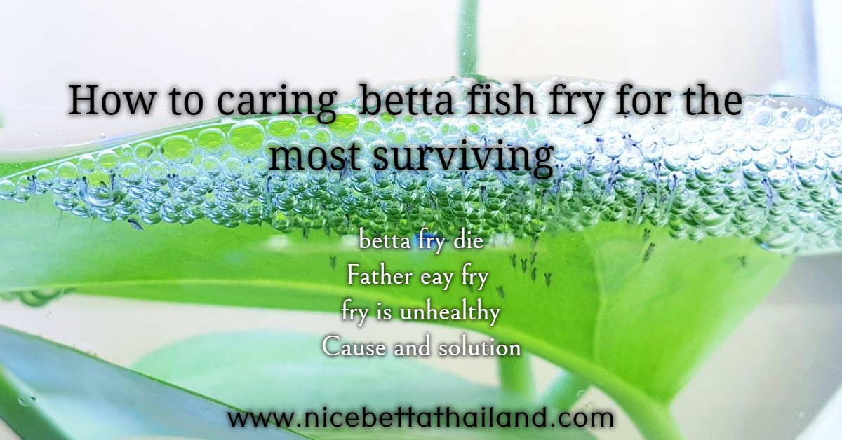 How to caring betta fish fry for the most surviving