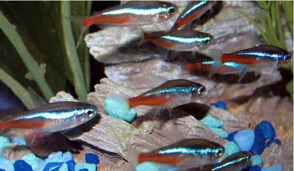 Neon tetra by Nice Betta Thailand