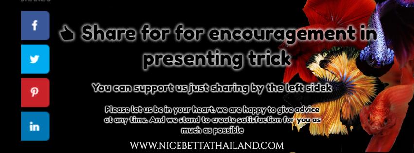 Nice Betta Thailand Present high quality betta fish for your aquarium