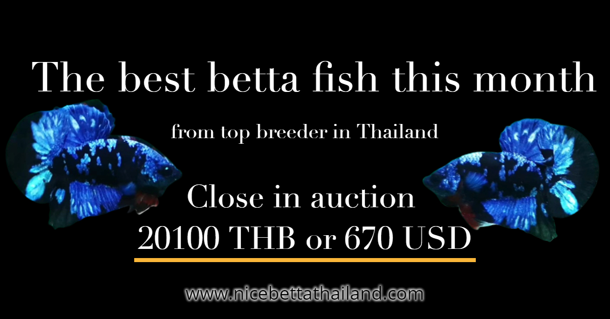 The best betta fish this month