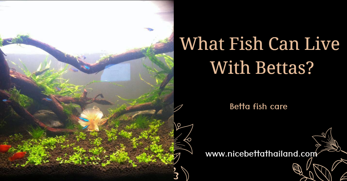 What Fish Can Live With Bettas_
