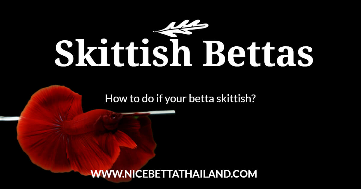 How to do if your betta skittish