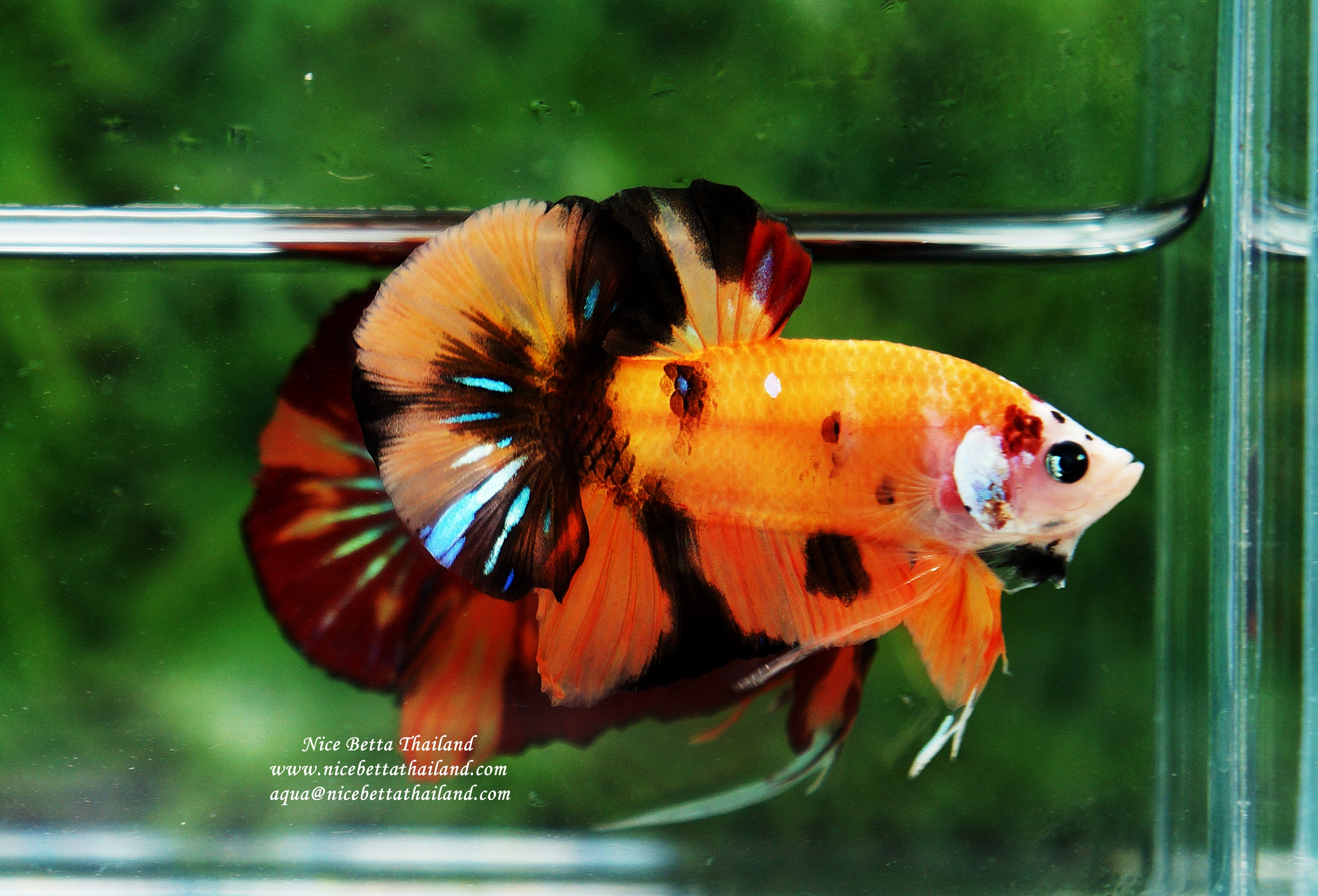 Nemo siam By Nice Betta Thailand