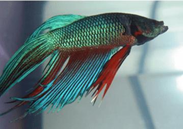 Old Betta fish