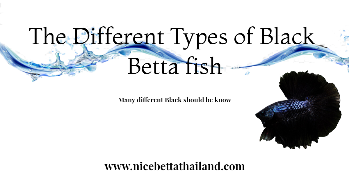 The Different Types of Black Betta fish