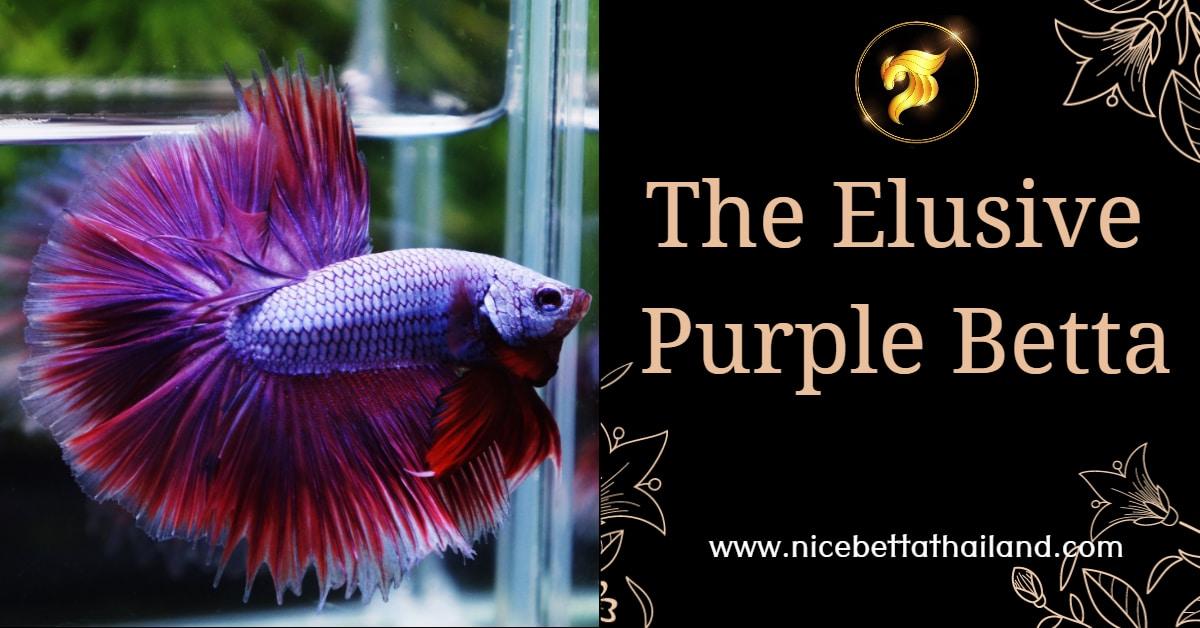 The Elusive Purple Betta