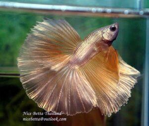 ฺBetta fish