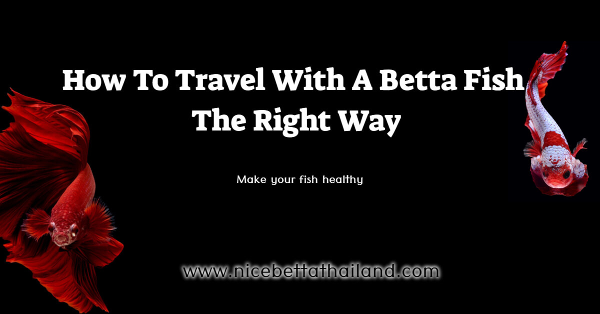 How To Travel With A Betta Fish The Right Way
