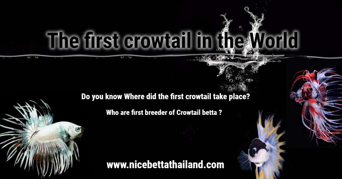 The first crowtail betta in the world