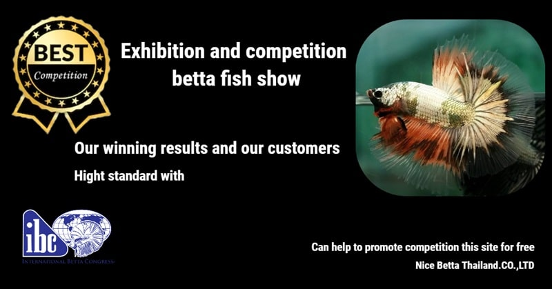Betta fish competition