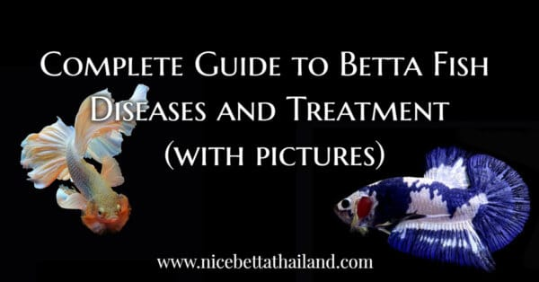 Complete Guide to Betta Fish Diseases and Treatment by Nice Betta Thailand