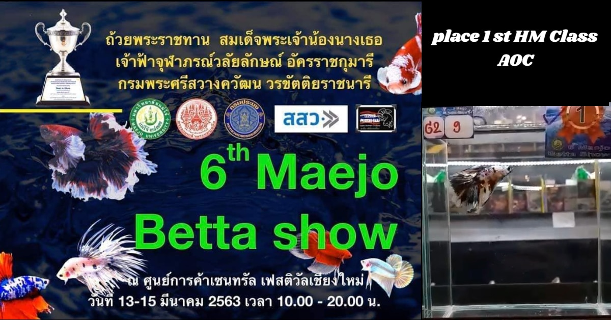 Maejo betta fish show