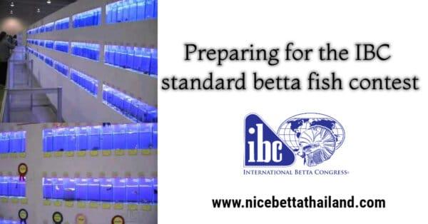 Preparing for the IBC standard betta fish contest
