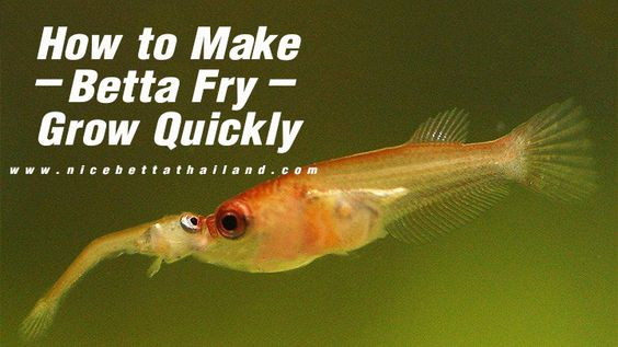 How to Make Betta Fry Grow Quickly