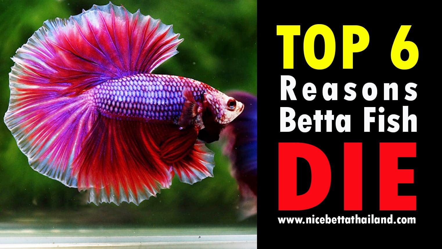 Top 6 Reasons Betta Fish Die