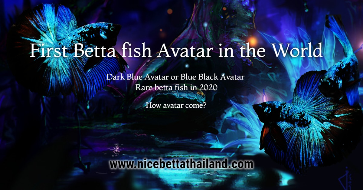 First Betta fish Avatar Color