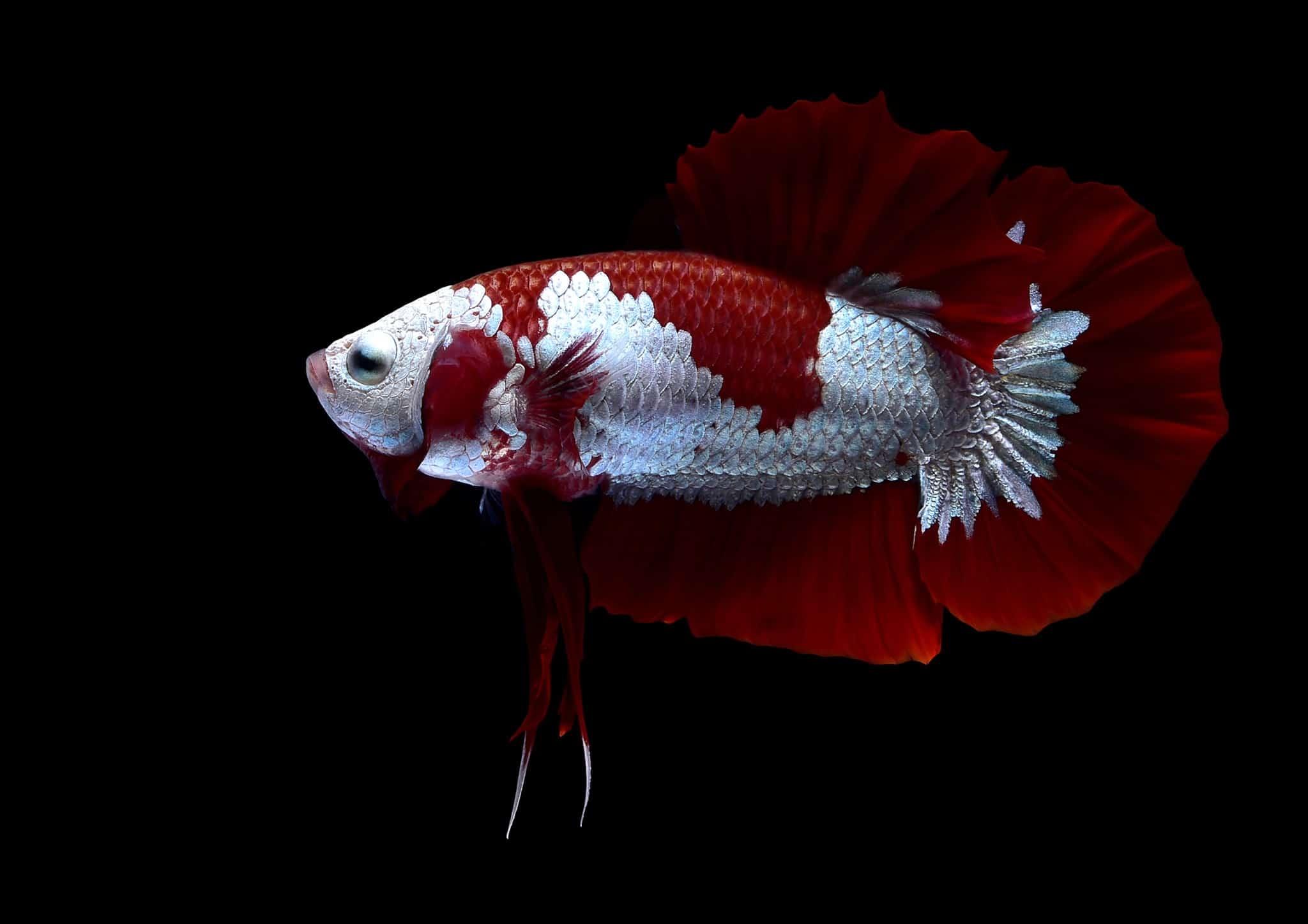 Red Samurai betta fish