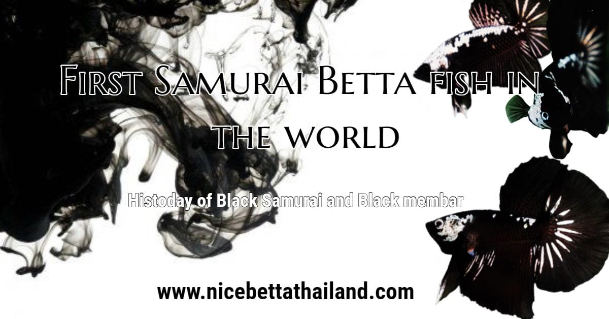 Black Samurai Betta fish
