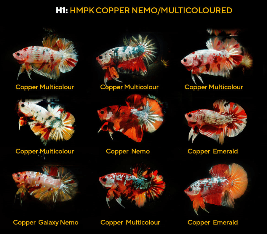 Copper candy nemo multicolor