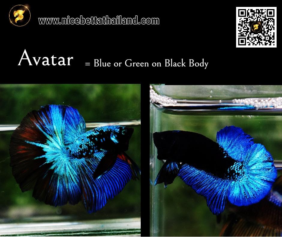 Betta fish half moon Blue Black Star Avatar