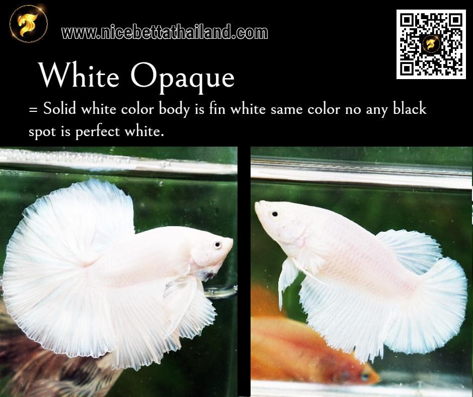 Betta fish White Opaque color