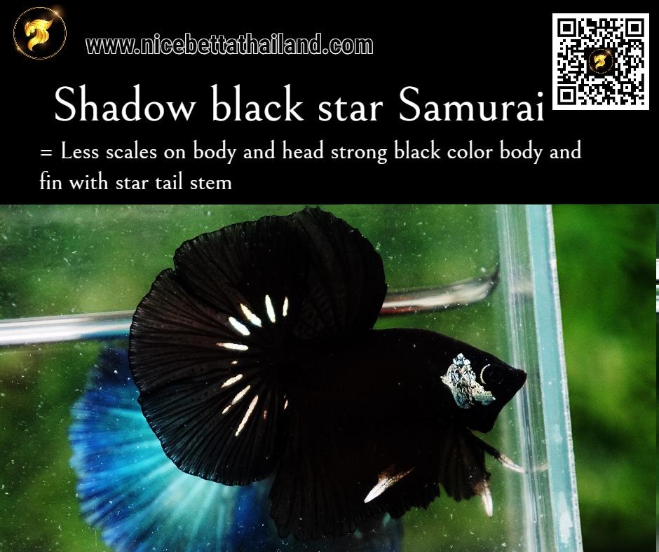 Betta fish Shadow Black Star color