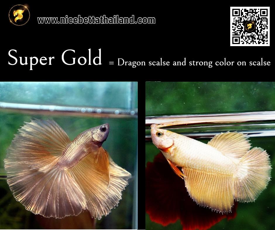 Betta fish Super Gold color
