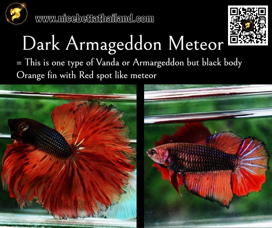 Betta fish Dark Armageddon Meteor color