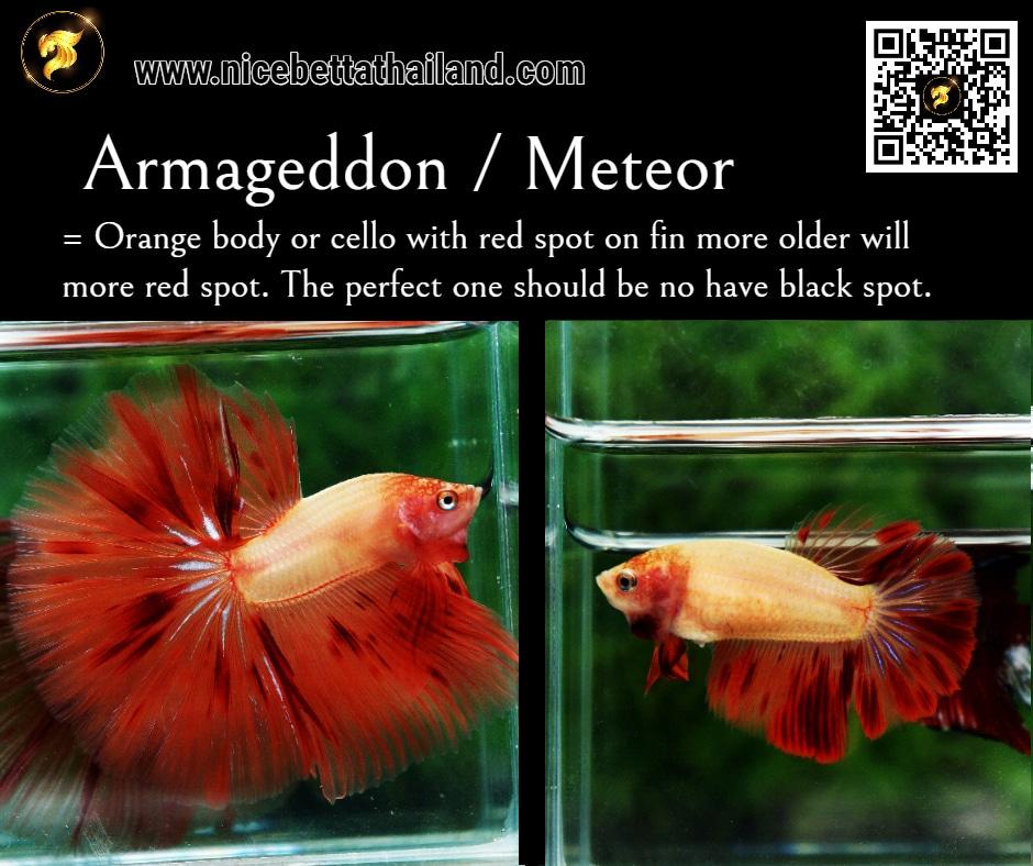 Betta fish Armageddon Meteor color