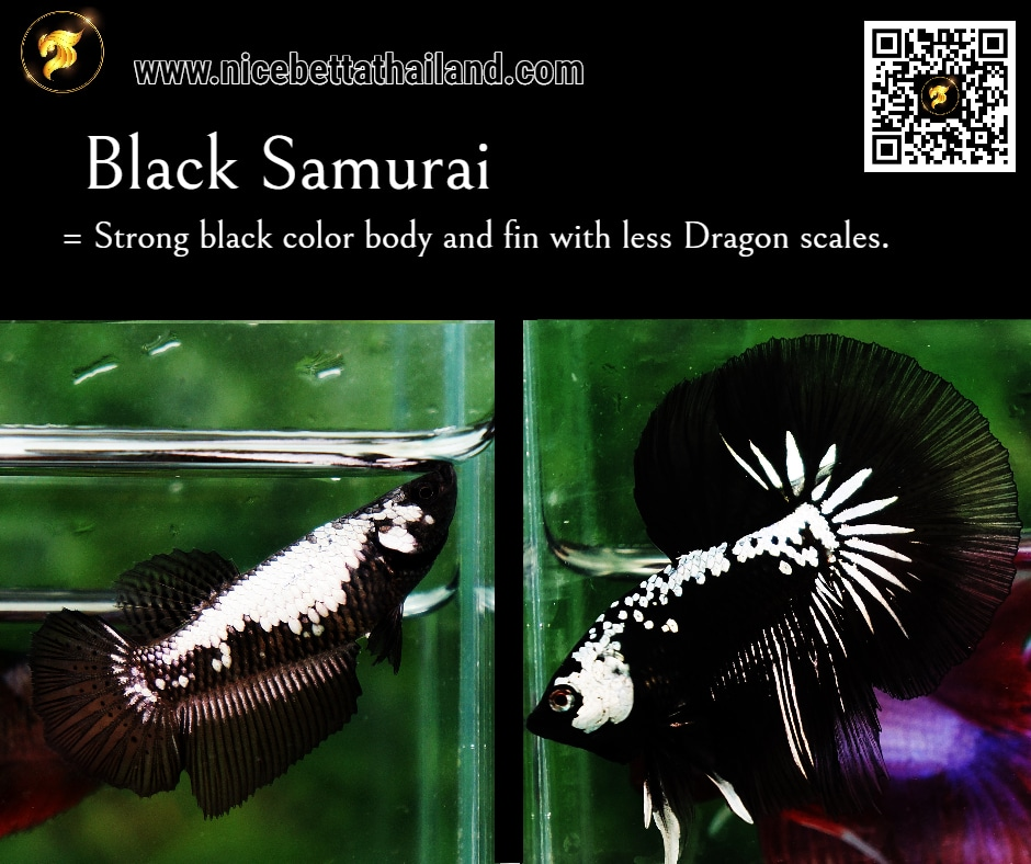 Betta fish Black Samurai color
